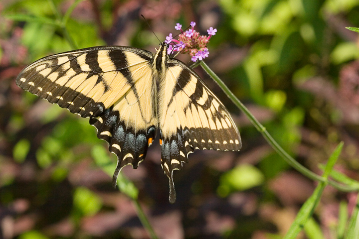 butterfly_1_4215