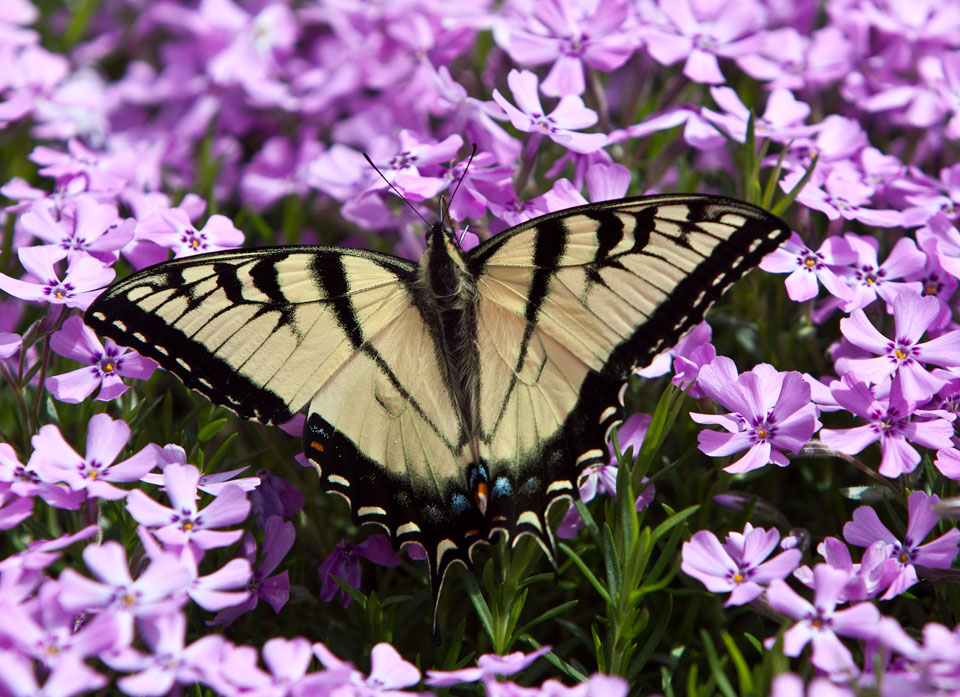 butterfly_heliotrope_1810