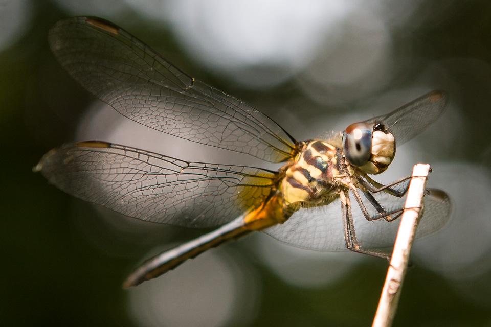 Dragonfly-0004963