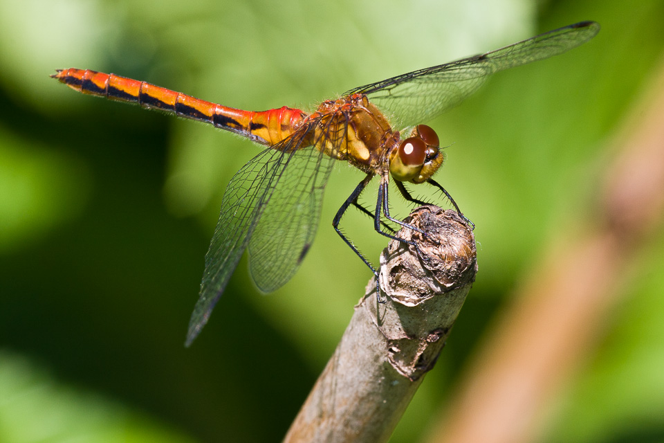 Dragonfly-0005170
