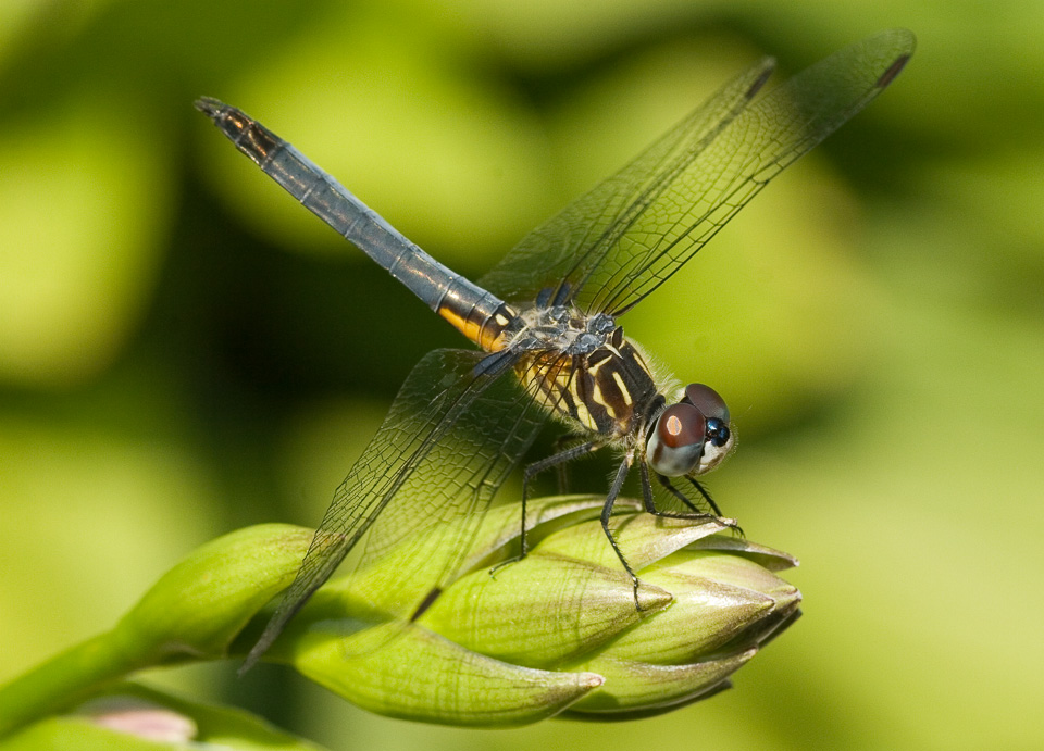 Dragonfly-2468