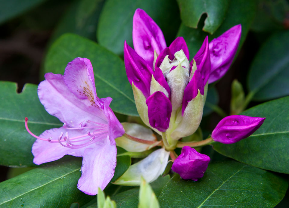 two_state_rhodedendron_2337